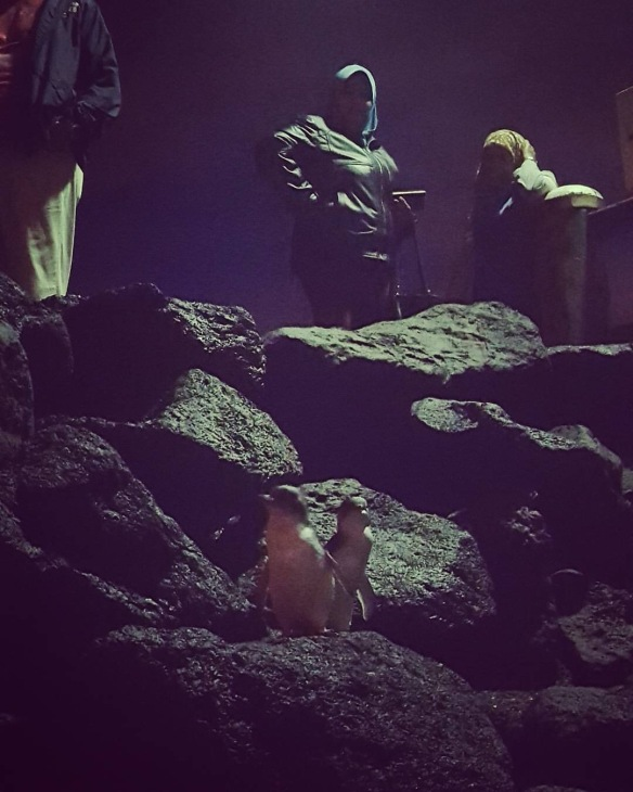 Fairy Penguins!